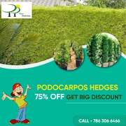 Podocarpos hedges 75% off get Big Discount…. !