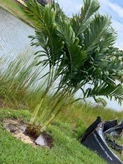 Christmas Palms inventory liquidation! 75% Off Best Price Guaranteed.